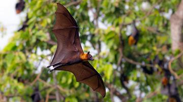 Duke-NUS researchers discover the secret to bats' immunity