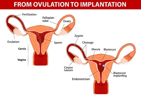 Typical IVF cycle from ovulation to implantation.